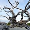 Old mangrove tree, Bonaire