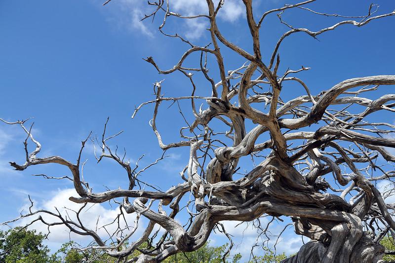 Gnarled dead tree on Bonaire