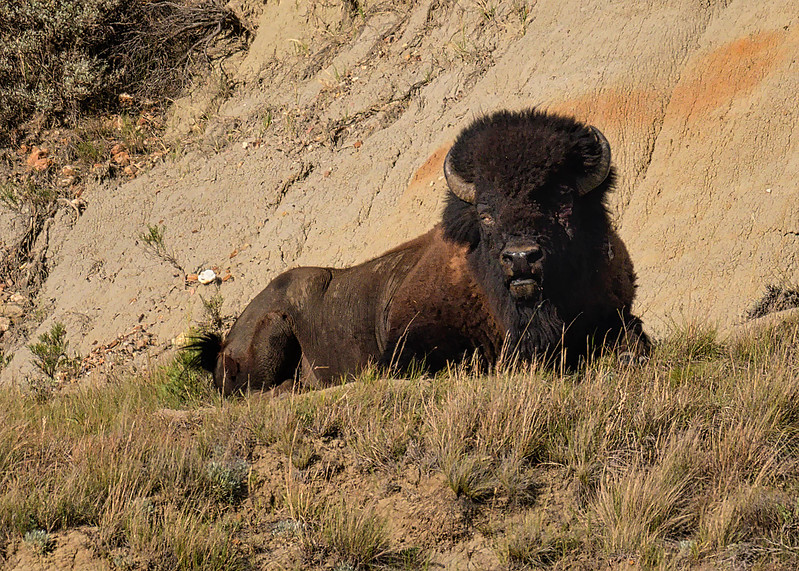 Buffalo hanging out on a ridge in the south unit