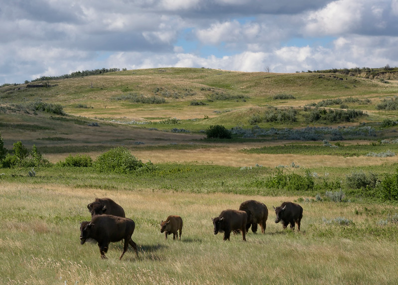 Buffalo out for a walk - North Unit
