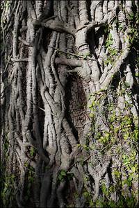 Live oak bark and green viney twisty thing