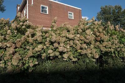 wall of hydrangea