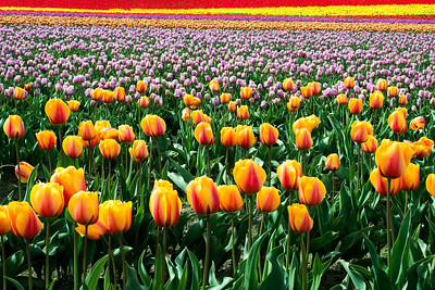 Tulip Colors