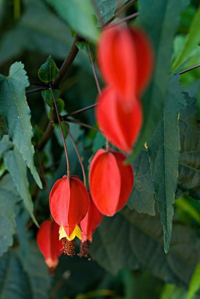Chinese Lantern (Abutilon Megapotamicum Malvaceae)