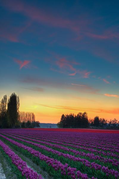Tulip Sunset