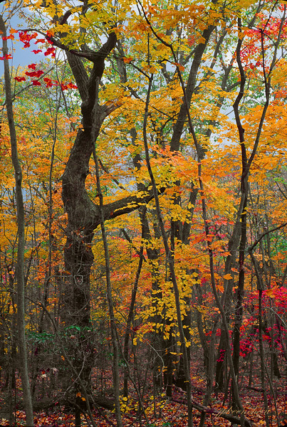 Fall Trees in St. Anthony's Wilderness in Lebanon County, Pa
