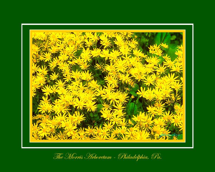 Yellow Daisies at the Morris Arboretum