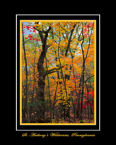 Tall Trees and Fall Colors in St. Anthony's Wilderness in Lebanon County Pennsylvania