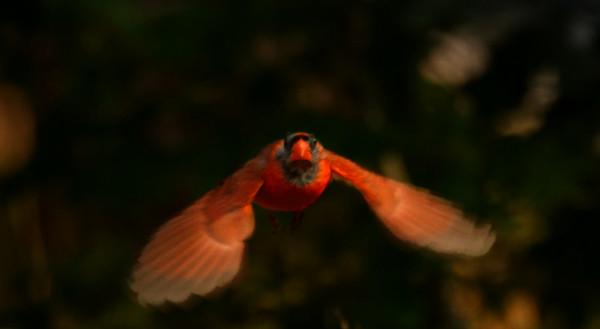 Eastern Cardinal