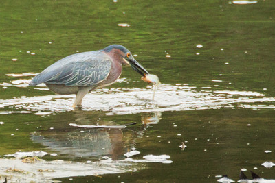 Green Heron with Prey