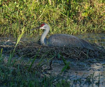 Sandhill Crane On the Nest