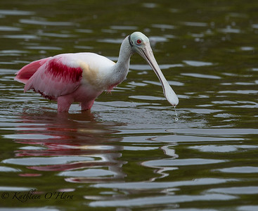 Spoonbill With Water Drop