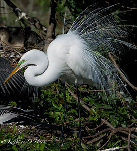 Egret In Mating Plumage