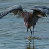 Reddish Egret 3