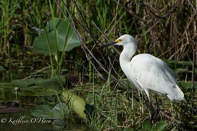 Egret In Pond