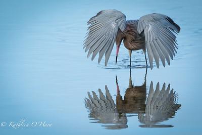 Reddish Egret With Reflection