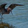 Reddish Egret 4