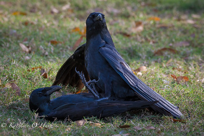 Crows, Mating