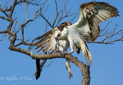 Osprey With Dinner2