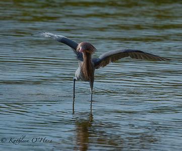 Reddish Egret1