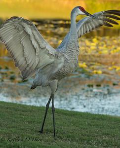 Sandhill Crane On the Golf Course