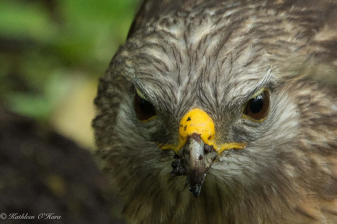 Immature Red Shouldered Hawk