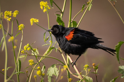 Red-winged Blackbird,  Butte Lake