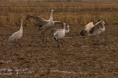 Cranes Displaying 1