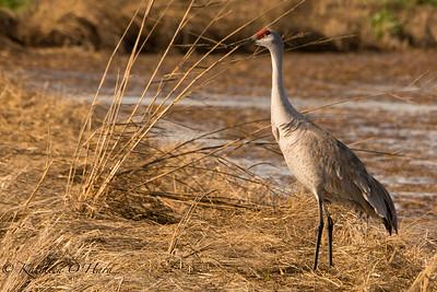 Lone Sandhill Crane