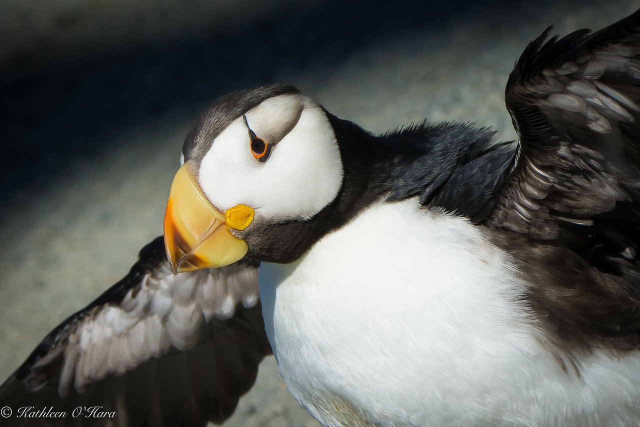Horned Puffin, Newport Aquarium