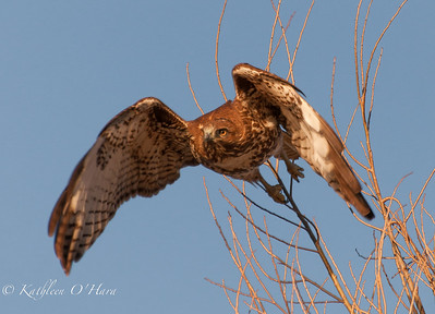 Red-tailed Hawk2