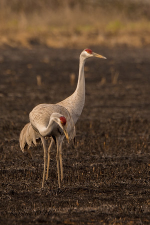 Sandhill Crane in Burned Field