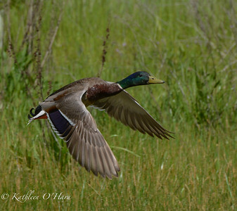 Mallard On Take Off