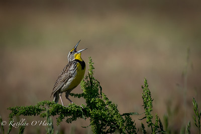 Meadow Lark Singing