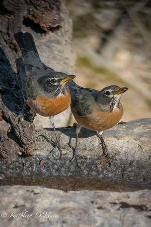 Robin Twins