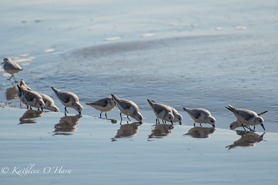 Shorebirds Feeding