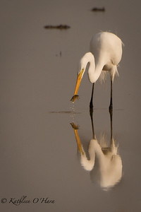 Egret Reflection with Dinner