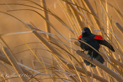 Red Winged Blackbird 2