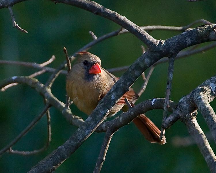 Northern Female Cardinal