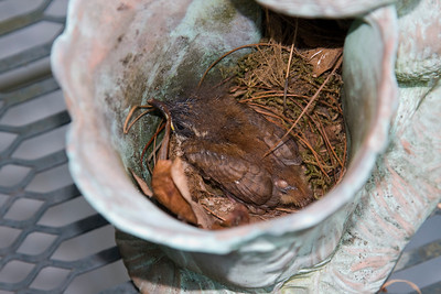 July 21, 2011. One of the babies is getting ready to leave home. He's moved out of their little hole into the open area of the planter.