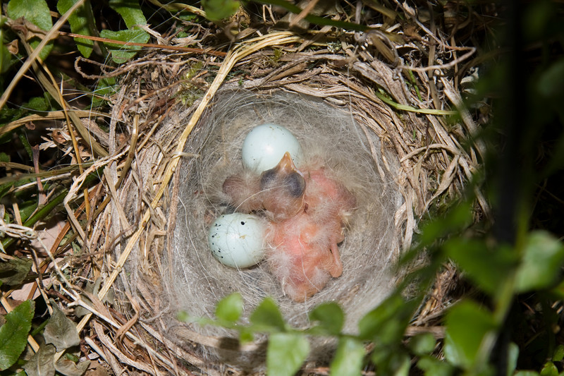 Unfortunately, they didn't make it. Something got the eggs and the babies the same night I took this picture.