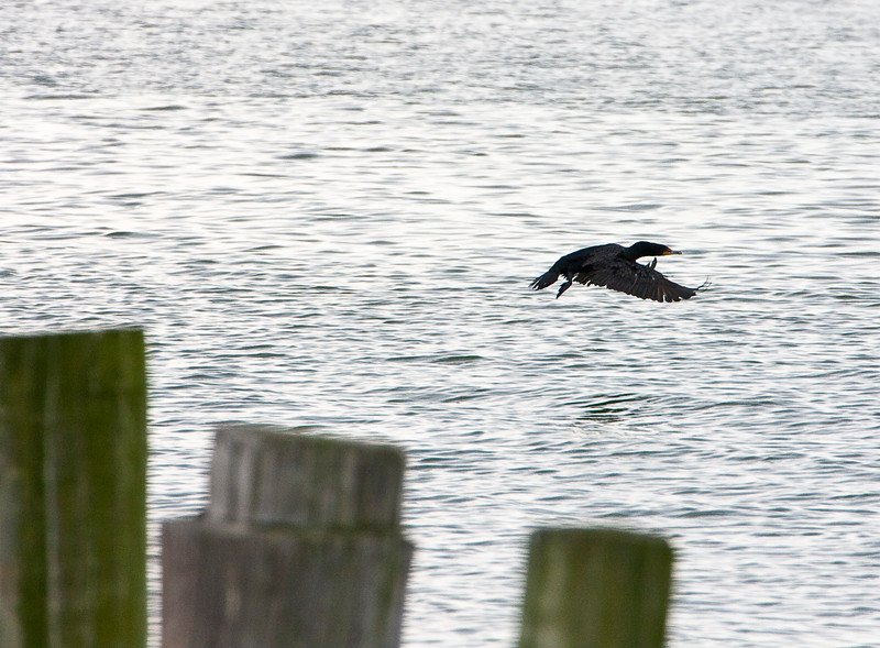 Double crested cormorant - - I think.