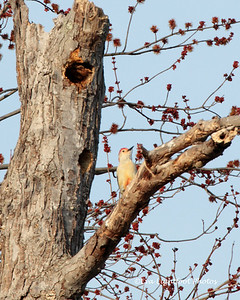 March 15, Red Bellied Woodpecker