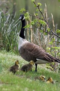 IMG_2971 geese copy