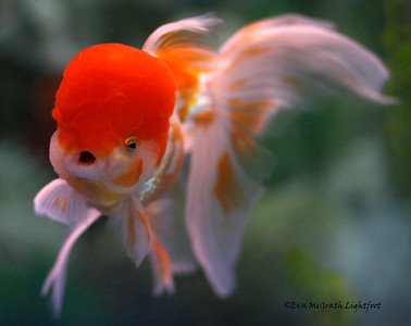Marilyn the Oranda. She passed away on May 27, 2009