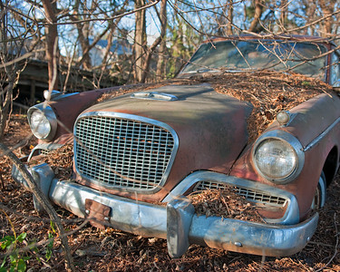Sun dried Studebaker with tree leaves and pine cones - low salt.