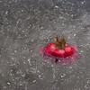 Sweden, Stockholm: Rose in pond.