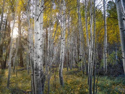 fall in the sierra aspens