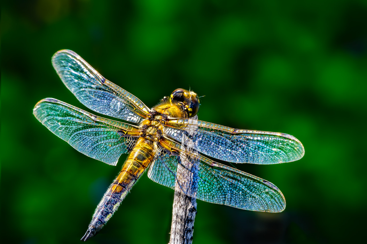 a dragonfly descends with just a whisper
