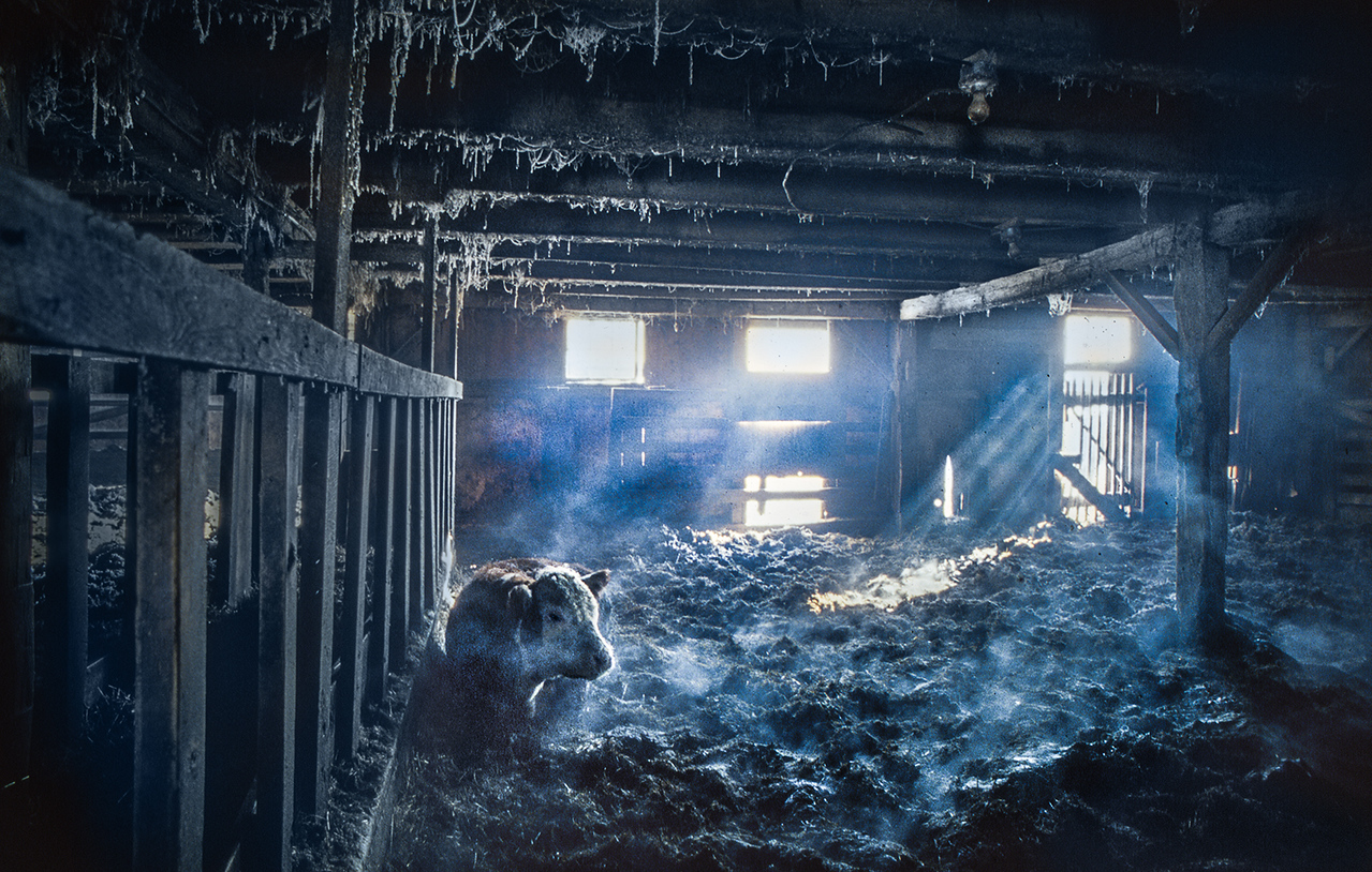 Calf in cold barn